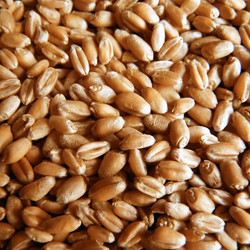 Wheat | Adams Seeds Small Grain