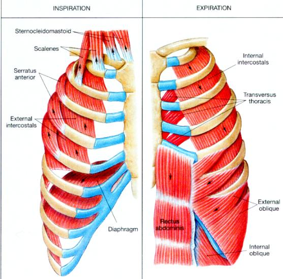 respiratory muscles