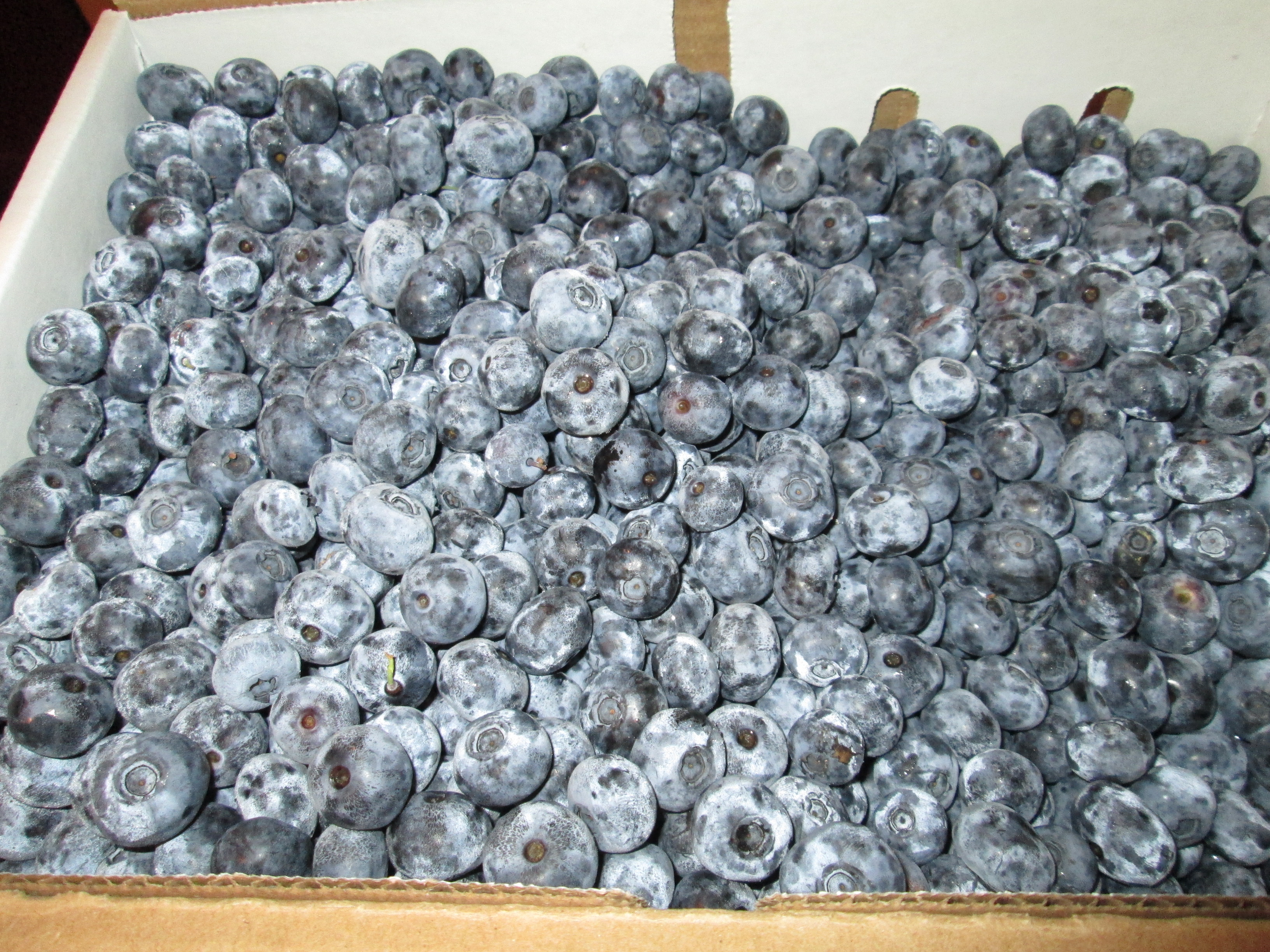 20 Pounds of Blueberries