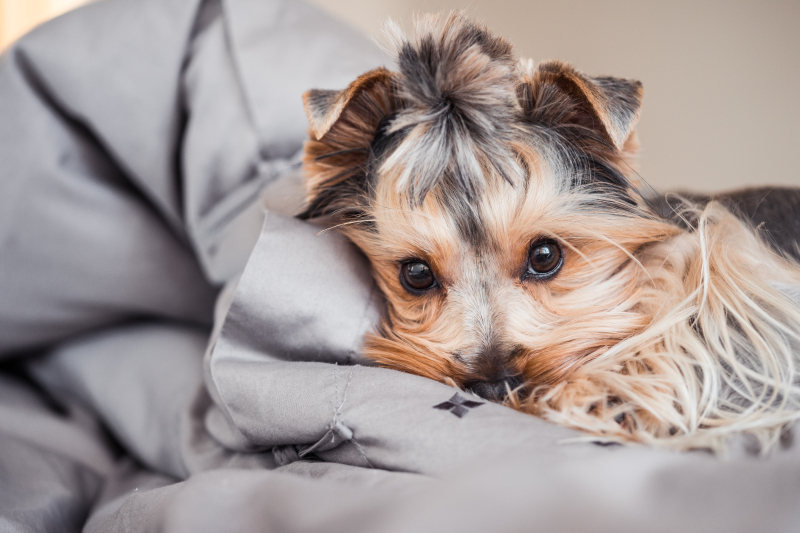 little-jessie-the-dog-resting-in-bed-picjumbo-com_copy