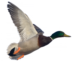 Minnesota Goose and Duck Hunting Guide Service
