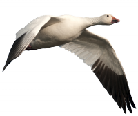 Missouri Snow Goose Hunting Guide Service