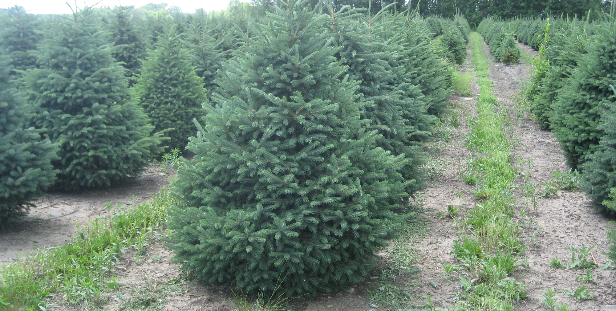 Happy Land Tree Farms | Christmas Trees to Buy or Cut