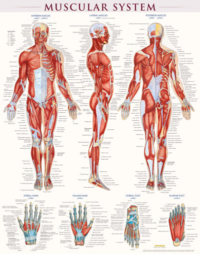Poster-Muscular System