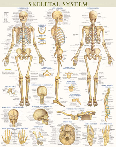 Body System Posters Poster-skeletal System