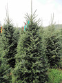 Cut your own Fraser Fir Minnesota