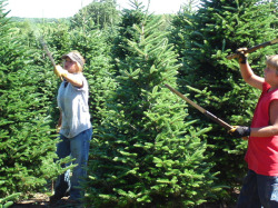 Hardworking Christmas tree farm crew