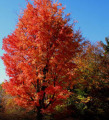 Buy Maple trees in Minnesota