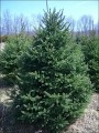 Cut your own White Spruce Minnesota