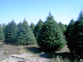 one of the best things about a real christmas tree is that each one is unique no two are ever exactly alike we grow several varieties of trees so that you - Type Of Christmas Trees