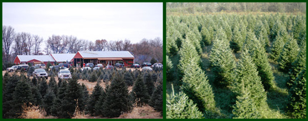 Your Home for Minnesota Grown Christmas Trees and Landscape Trees - Pinestead Christmas Tree Farms And Lot, Isanti, Minnesota.