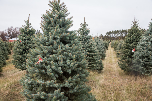 The following photo shows a pre-season view of part of our main choose and  cut Blue Spruce field. Trees available for sale all have a highly visible  red ... - Choose And Cut Or Fresh Pre-cut Blue Spruce Christmas Trees