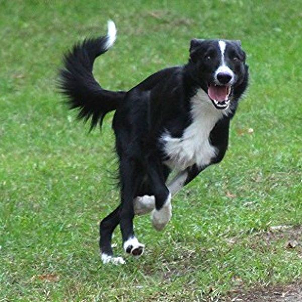 D B Farm Border Collies Border Collies For Sal...