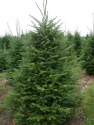 Canaan Fir tree