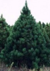 Norway Pine tree