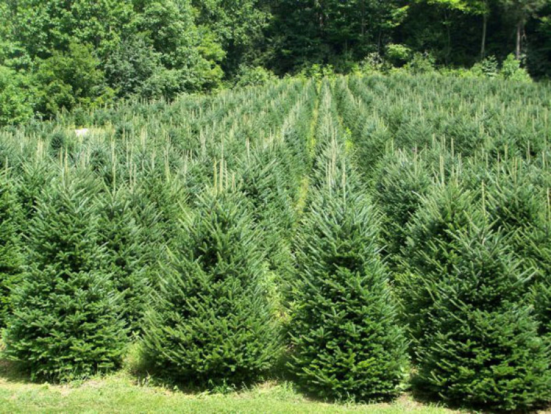 Scotch Pine Christmas Trees