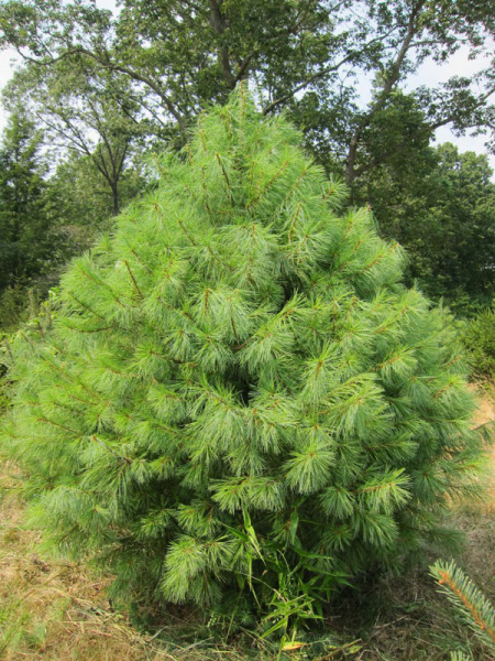 Where Christmas Trees Come From
