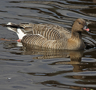 Pink Footed Goose UWC