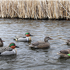 REFUGE SERIES GREENWING TEAL DECOYS