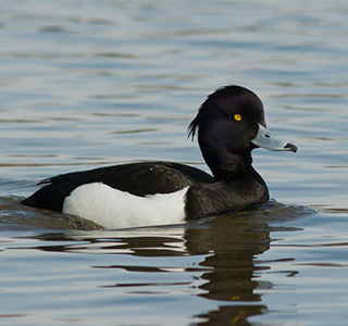 Tufted Duck UWC