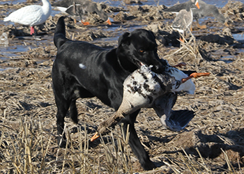 arkansas_hunting_dogs