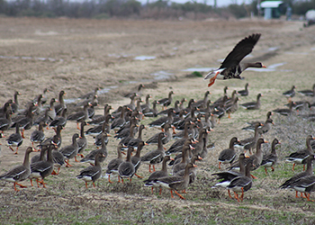 arkansas_white_fronted_goose_hunting