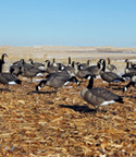doa_decoys_full_body_canada_goose_decoy