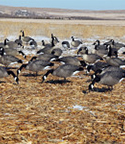 doa_decoys_goose_feeders