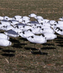 doa_decoys_snow_and_blue_goose_decoys