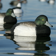 greater_scaup_hunting