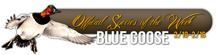 official_specices_of_the_week_blue_goose