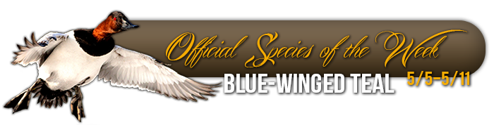 official_specices_of_the_week_blue_winged_teal