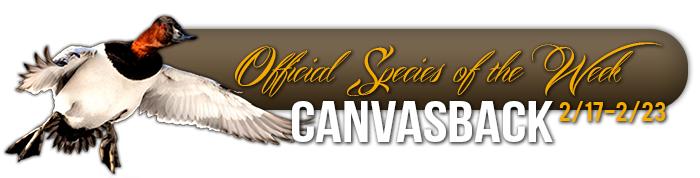 official_specices_of_the_week_canvasback
