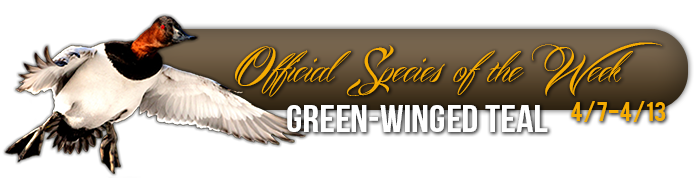 official_specices_of_the_week_green_winged_teal