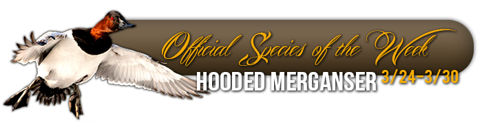 official_specices_of_the_week_hooded_merganser