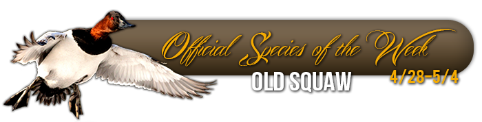 official_specices_of_the_week_old_squaw