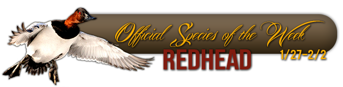 official_specices_of_the_week_redhead