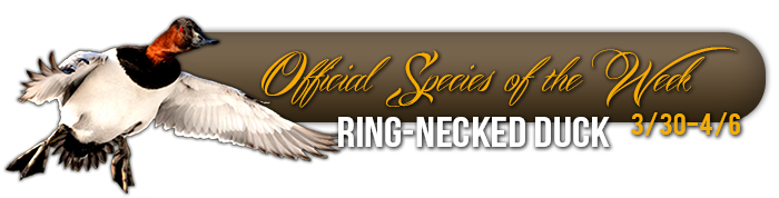 official_specices_of_the_week_ring_necked_duck