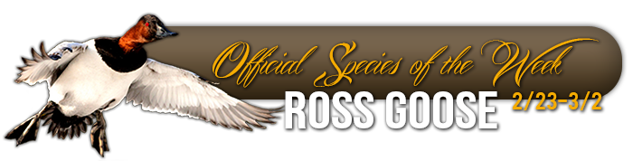 official_specices_of_the_week_ross_goose