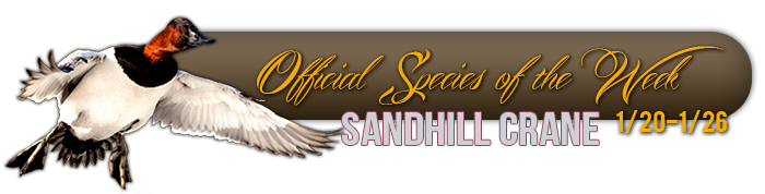 official_specices_of_the_week_sandhill_crane