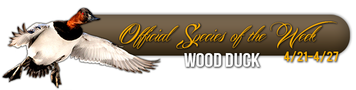 official_specices_of_the_week_wood_duck