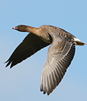 pink-footed-goose-thumb-001