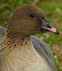 pink-footed-goose-thumb-002