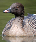 pink-footed-goose-thumb-003