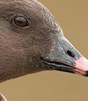 pink-footed-goose-thumb-005