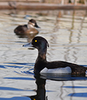 tufted-duck-thumb-001