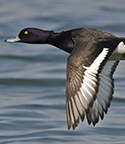 tufted-duck-thumb-002