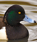 tufted-duck-thumb-004