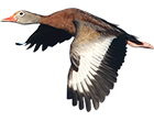 black_bellied_whistling_duck_guided_hunts
