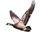 cackling_canada_goose_guided_hunts